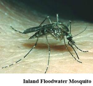 111Inland Floodland mosquito