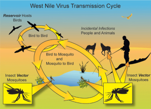 111West-Nile-Virus-Diagram