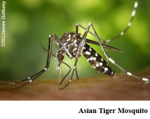 11Asian Tiger Mosquito