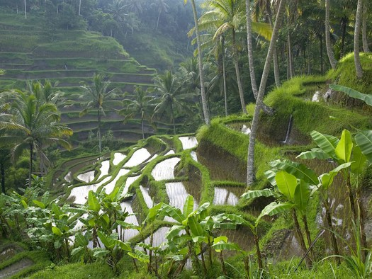 Terraced-Rice-Paddy-Ubud-Area-Bali-Indonesia_525