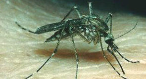 111Inland-Floodland-mosquito-300x277