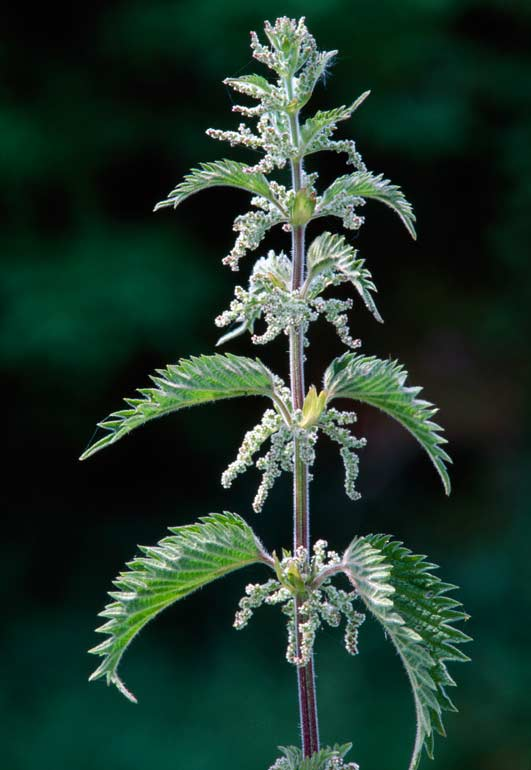 stingingnettle11