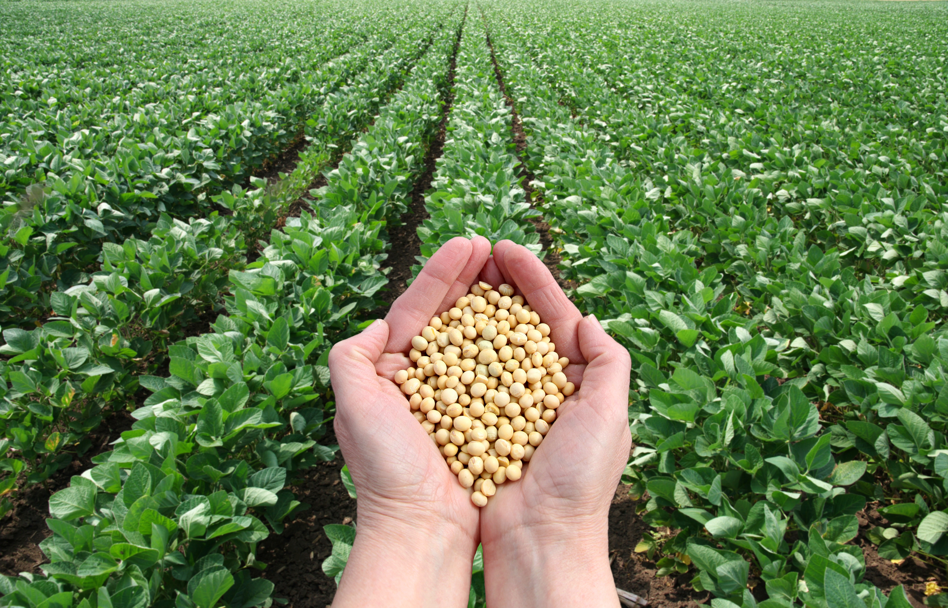 Human hand holding soybean with field in background