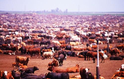 beef-indag-ii-livestock-article1